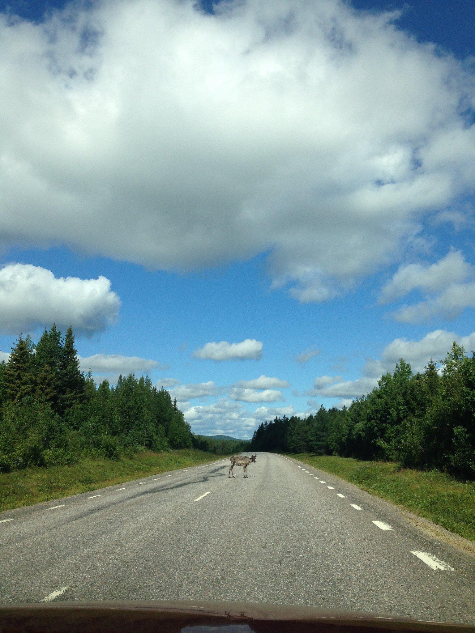 Renos en la carretera en Laponia sueca